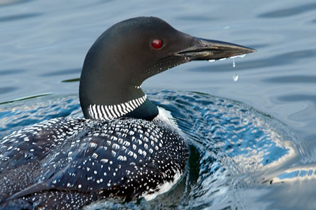 Get close to Canada's loons at Fernleigh Lodge