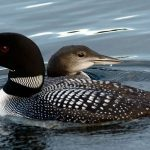 Mother Loon with Youngster.