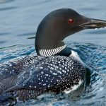 Closeup of Our Iconic Loon.
