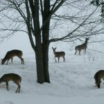 In the Winter Months Deer are not so Wary.
